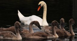Sefton swans
